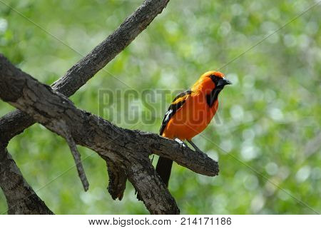 The altamira oriole is one of the many beautiful species of orioles.