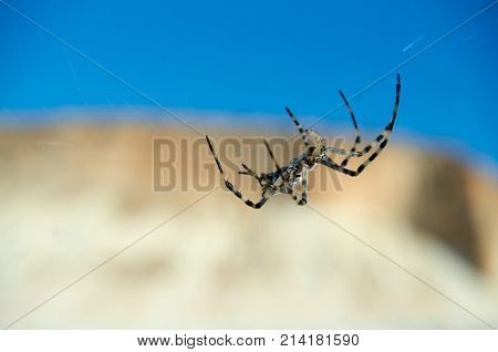 Argiope spider. The genus Argiope includes rather large spiders that often have a strikingly coloured abdomen. These spiders are distributed throughout the world.