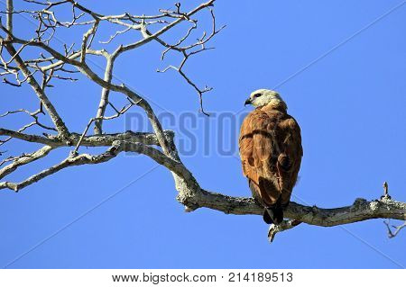 Black-collared Hawk in Profile on a Branch. Rio Claro Pantanal Brazil