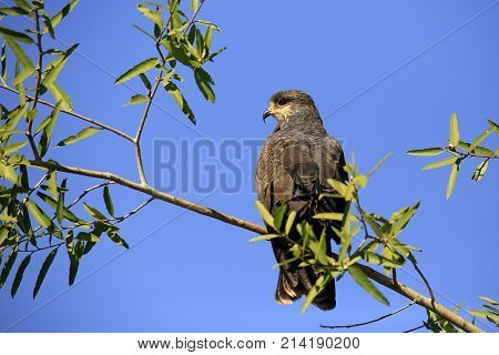 Snail Kite in Profile on a Branch. Rio Claro Pantanal Brazil