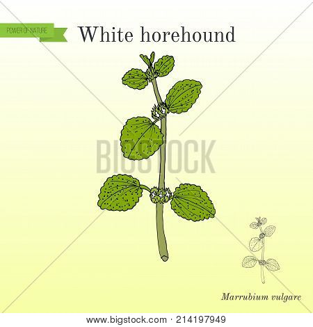 White horehound Marrubium vulgare , medicinal plant. Hand drawn botanical vector illustrati