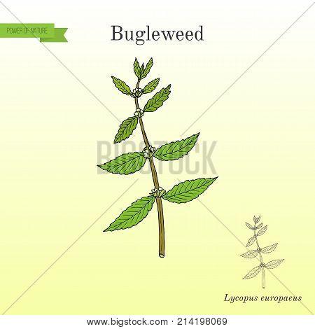 Bugleweed Lycopus europaeus , or gypsywort, water horehound - medicinal plant. Hand drawn botanical vector illustration