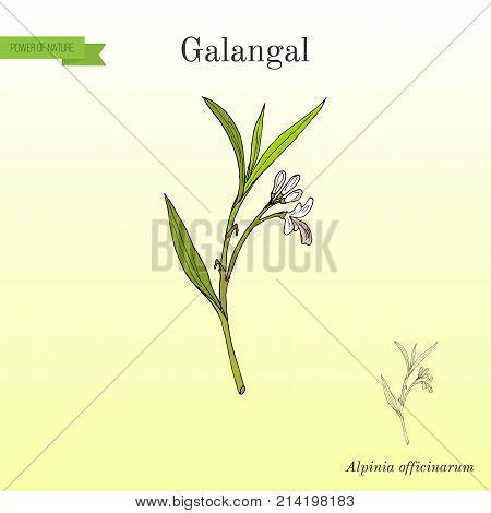 Galangal Alpinia officinarum , medicinal plant. Hand drawn botanical vector illustration