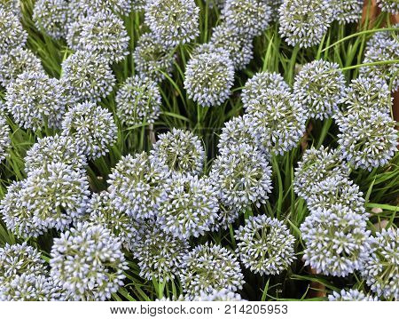 Background of Blue Artificial Allium Giganteum Blossoms or Giant Onion Flower for Home and Office Decoration without The Care.