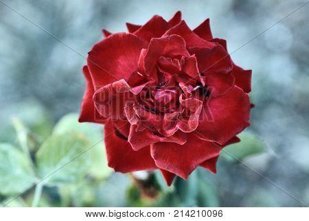 Redflower rose on the island of Kos Greece