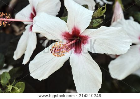 white Hibiscus flower on Kos island in Greece
