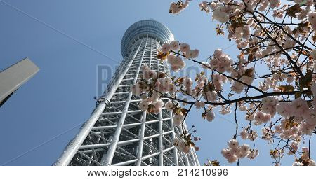 Tokyo, Japan - April 19, 2017: Tokyo Skytree with cherry blossoms in full bloom. Tokyo Skytree the tallest tower in the world, broadcasting and observation tower in Sumida District. Blue sunny sky.