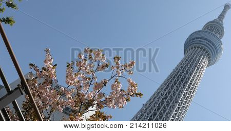 Tokyo, Japan - April 19, 2017: Tokyo Skytree with cherry blossoms in full bloom in Sumida District. Tokyo Skytree is the tallest tower in the world, broadcasting and observation tower.