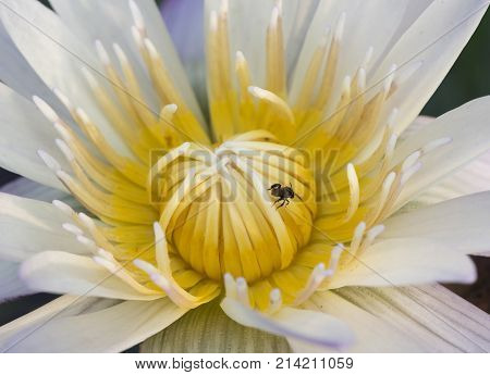 Macrophotography of beautiful lotus and a bee