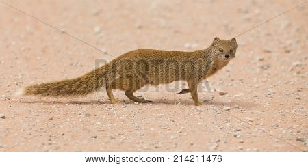 Yellow mongoose walking carefully over hot red Kalahari sand