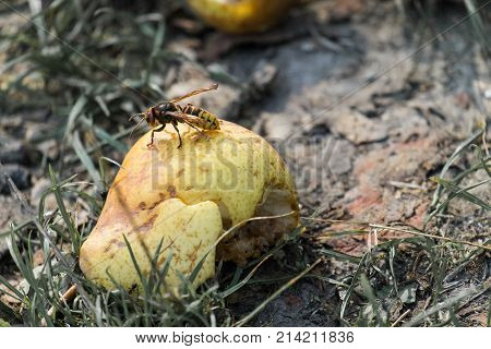 European hornet sits on a fallen pear fruit (Vespa crabro)