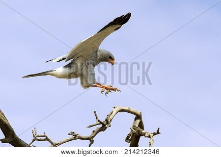 Male Pale Chanting Goshawk jumping in a tree against the blue Kalahari sky