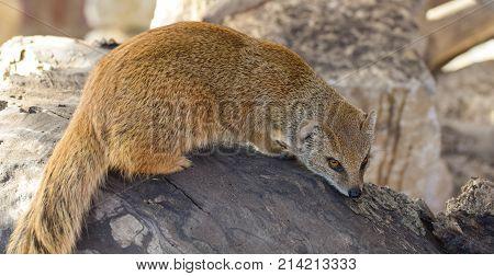 Yellow Mongoose Portrait
