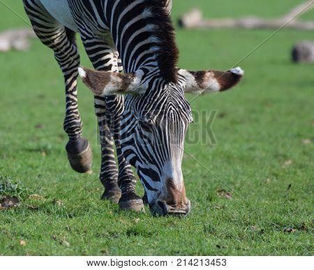 A Grevys Zebra grazing on fresh grass