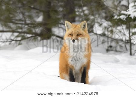Red fox (Vulpes vulpes) with bushy tail walking through the winter snow in Algonquin Park