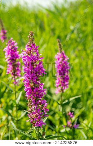 Closeup of the reddish purple colored flowers of a purple loosestrife or Lythrum salicaria plant in its own natural habitat in the Netherlands.
