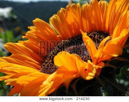 Orange Sonnenblume