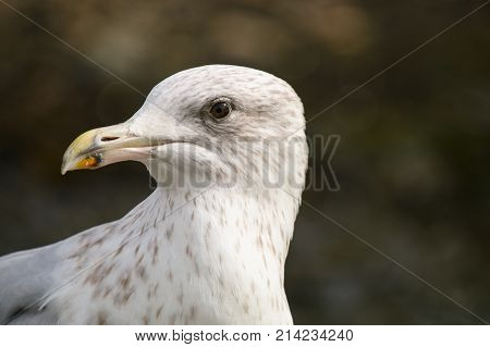 A juvenile Herring Gull in it's second winter plumage