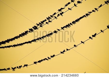 Silhouettes Of Swallows On Wires. At Sunset Wire And Swallows