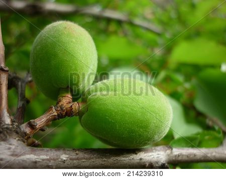Green apricot on a branch. Apricot on a branch. Green apricot.
