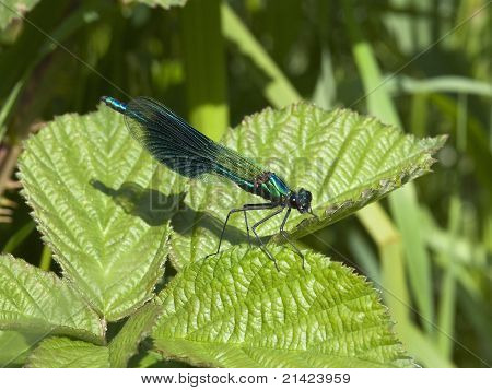 a male banded agrion also known as banded demoiselle and agrion splendens resting on a bramble leaf poster