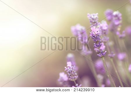 wallpaper of lavender blooms with free copy space for text and artwork - bright dreamy light mood - limited depth of field