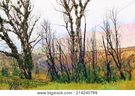 Burnt trees and plants caused from a past wildfire taken at a rural chaparral woodland in Cajon, CA