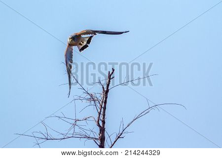 Lesser kestrel in Kruger national park, South Africa  Specie Falco naumanni family of Falconidae
