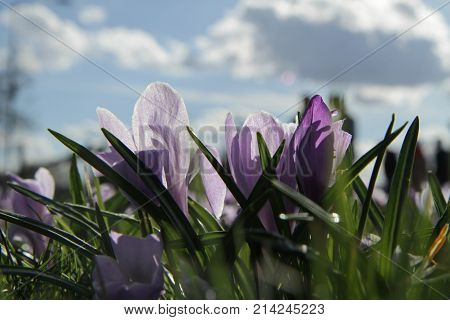 flowers snowdrops purple with green leaf on background sky and clouds close-up spring