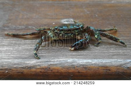 Live crab. Sea crab. Young crab lost his right claw. The photo. Crab on a wooden board.
