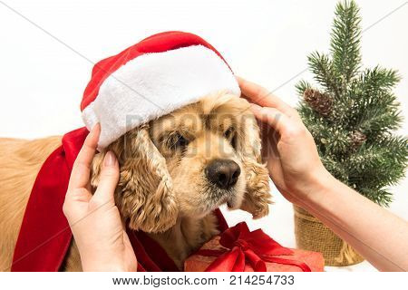 Woman puts Santa's hat on his American cocker spaniel. White background. Close-up. Christmas tree near dog.