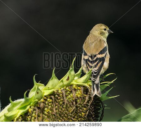 Female goldfinch perched on sunflower in sunflower field.