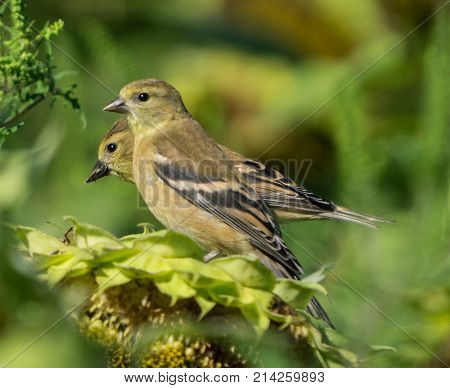 Two goldfinch perched on a sunflower in field.