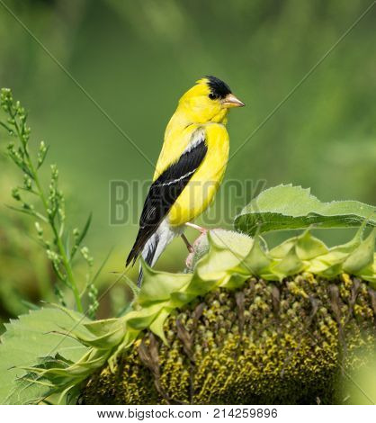 Yellow goldfinch in field eating sunflowers in summer.