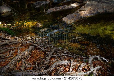 Amazing view of gnarled roots of a tree drinking water from a stream in Sequoia and Kings Canyon National Park on the Tokopah Falls Trail.