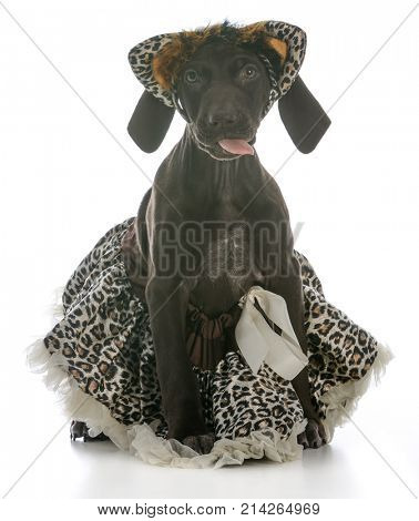 german shorthaired pointer puppy wearing skirt on white background