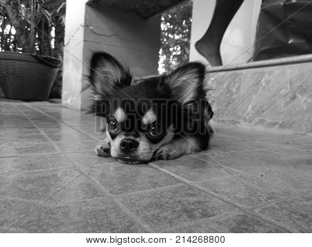 Cute little black chihuahua puppy sit on a floor in black and white
