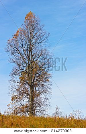 Lonely tree with two tops in the midst of tall grass in late autumn. Tall leafless tree against a blue sky in fall.