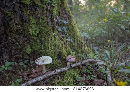 Tree trunk oak covered by lush green moss in autumnal forest with Mushrooms a ground. Forest background