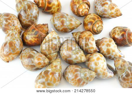 live sea snails isolated on white background