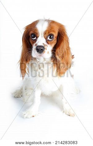 Beautiful friendly cavalier king charles spaniel dog. Purebred canine trained dog puppy. Blenheim spaniel dog puppy. Cute doggy.