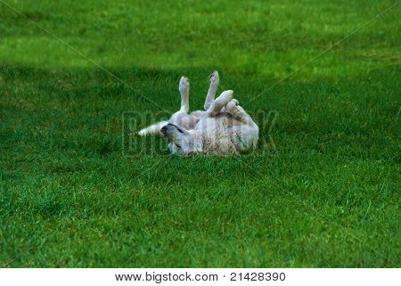 Happy Relaxed Dog On Green Loan
