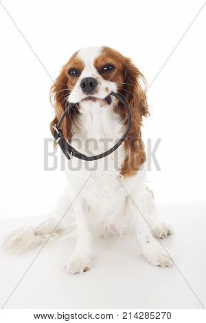 Beautiful friendly cavalier king charles spaniel dog. Purebred canine trained dog puppy. Blenheim spaniel dog puppy with collar. Cute.