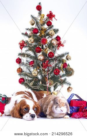 Christmas animal christmas dog pet. Beautiful friendly cavalier king charles spaniel dog. Purebred canine trained dog puppy. Blenheim spaniel dog puppy celebrate christmas. Christmas tree and dog. Cute,
