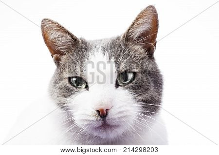 Cat eyes. Cat portrait in white studio background. Domestic cat isolated on white. Silver eyes. Cat with blue eyes sit in studio. Hd wallpaper.