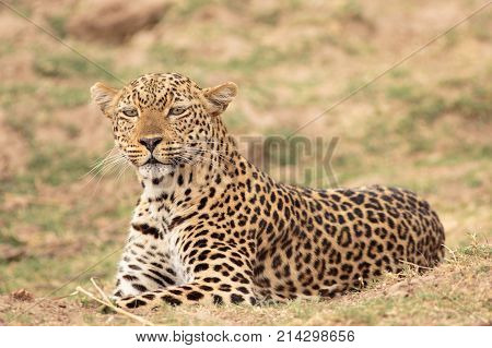 Alert Leopard (Panthera pardus) getting ready to pounce in South Luangwa National Park Zambia Southern Africa