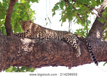 Full Framed African Leopard (Panthera pardus) resting in a tree looking alert in South Luangwa National Park Zambia