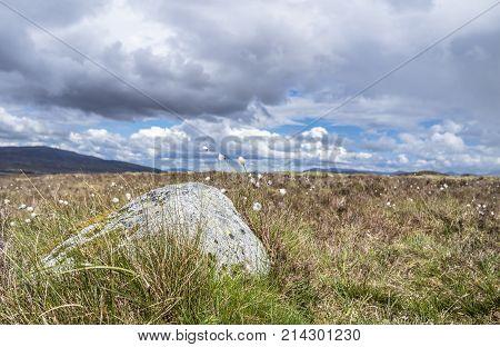 Cotton grass at Rannoch moor in the scottish highlands, uk