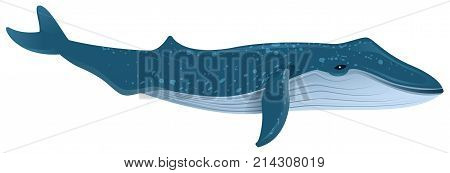 Blue whale is largest marine mammal. Isolated on white vector cartoon illustration