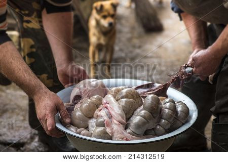 The Butchers Sort The Pork Inwards In A Large Bowl, And The Dog Watches Them, Ukraine